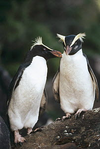 Fiordland Crested Penguin (Eudyptes pachyrhynchus) courting couple allopreening each other, Monroe Beach, West Coast, South Island, New Zealand - Tui De Roy