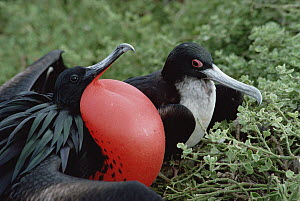 Great Frigatebird (Fregata minor) pair courting, male in full display with inflated gular air pouch, Tower Island, Galapagos Islands, Ecuador  -  Tui De Roy