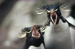 Rockhopper Penguin (Eudyptes chrysocome) ecstatic greeting display between pair at nest, Kidney Island, Falkland Islands - Tui De Roy