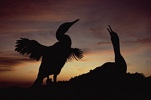 Flightless Cormorant (Phalacrocorax harrisi) drying stunted wings at sunset, Punta Espinosa, Fernandina Island, Galapagos Islands, Ecuador  -  Tui De Roy