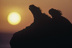 Marine Iguana (Amblyrhynchus cristatus) pair silhouetted on lava shore at sunset, Cape Douglas, Fernandina Island, Galapagos Islands, Ecuador - Tui De Roy