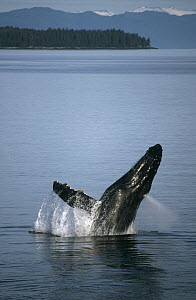 Humpback Whale (Megaptera novaeangliae) breaching in summer feeding grounds, Southeast Alaska - Tui De Roy