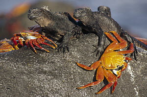 Sally Lightfoot Crab (Grapsus grapsus) pair sharing boulder with Marine Iguanas (Amblyrhynchus cristatus) to escape high tide, Mosquera Island, Galapagos Islands, Ecuador - Tui De Roy