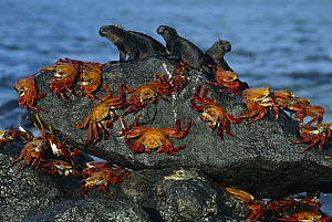 Sally Lightfoot Crab (Grapsus grapsus) group sharing boulder with three Marine Iguana (Amblyrhynchus cristatus) group to escape high tide, Mosquera Island, Galapagos Islands, Ecuador - Tui De Roy