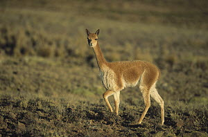 Vicuna (Vicugna vicugna) wild camelid of high Andes, exploited for its extremely fine wool, Pampa Galeras Nature Reserve, Peru - Tui De Roy