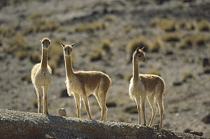Vicuna (Vicugna vicugna) wild camelid of high Andes exploited for its extremely fine wool, Pampa Galeras Nature Reserve, Peru - Tui De Roy
