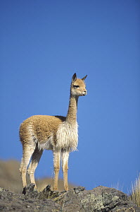 Vicuna (Vicugna vicugna) wild Andean camelid on high Andes exploited for its extremely fine wool, portrait, Pampa Galeras Nature Reserve, Peru - Tui De Roy