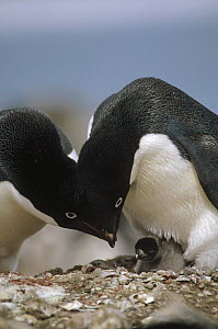 Adelie Penguin (Pygoscelis adeliae) parents bow over newly hatched chick, Turret Point, King George Island, South Shetland Islands - Tui De Roy
