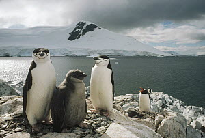 Chinstrap Penguin (Pygoscelis antarctica) parents with chick, Paradise Bay, Antarctica Peninsula, Antarctica  -  Tui De Roy