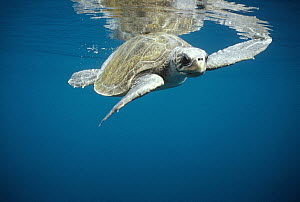 Olive Ridley Sea Turtle (Lepidochelys olivacea) swimming in open water, Galapagos Islands, Ecuador  -  Tui De Roy