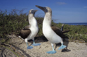 Blue-footed Booby (Sula nebouxii) pair performing courtship dance, Seymour Island, Galapagos Islands, Ecuador  -  Tui De Roy