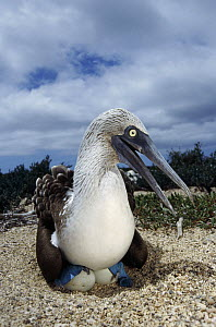 Blue-footed Booby (Sula nebouxii) male incubating eggs with webbed feet, Seymour Island, Galapagos Islands, Ecuador  -  Tui De Roy