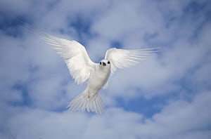 White Tern (Gygis alba) hovering in search of nest site, Midway Atoll, Hawaii  -  Tui De Roy