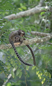 Common Marmoset (Callithrix jacchus) mutual grooming between social group members, Atlantic Forest, Brazil  -  Tui De Roy