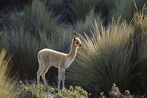 Vicuna (Vicugna vicugna) three week old baby wandering independently from its mother, Pampa Galeras National Reserve, Peruvian Andes, Peru  -  Mark Jones