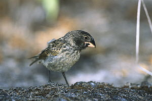 Large Ground Finch (Geospiza magnirostris) endemic, extra large bill for cracking large seeds, largest of the 13 species of Darwin's Finches, Genovesa Tower Island, Galapagos Islands, Ecuador  -  Tui De Roy