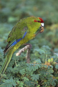 Red-fronted Parakeet (Cyanoramphus novaezelandiae) eating bidibid seeds, Enderby Island, Auckland Group, New Zealand - Tui De Roy