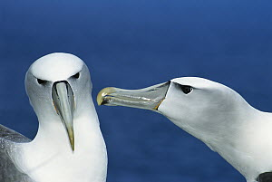 White-capped Albatross (Thalassarche steadi) couple courting, Southwest Cape, Auckland Island, New Zealand  -  Tui De Roy