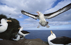 Campbell Albatross (Thalassarche impavida) coming in to land, Bull Rock Cape Colony, Campbell Island, New Zealand - Tui De Roy