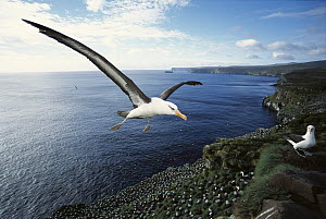 Campbell Albatross (Thalassarche impavida) coming in to land, Bull Rock, North Cape Colony, Campbell Island, New Zealand - Tui De Roy