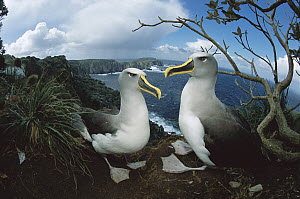 Buller's Albatross (Thalassarche bulleri) pair on storm-lashed western cliffs looking toward south promonitory, Snares Islands, endemic to New Zealand's southern Islands, New Zealand - Tui De Roy