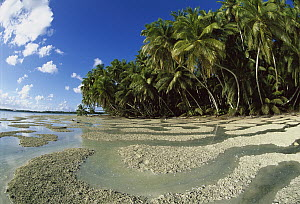 Palm trees and water flowing on beach on Palmyra Atoll, a wet, equatorial atoll with fringing reefs, native forests and abundant seabirds, Palmyra Atoll National Wildlife Refuge, US Line Islands  -  Tui De Roy