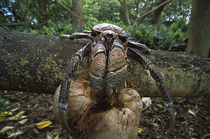Coconut Crab (Birgus latro) the world's largest land invertebrate, husking and eating a coconut on the forest floor, Palmyra Atoll, US National Wildlife Refuge, US Line Islands - Tui De Roy