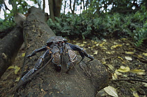 Coconut Crab (Birgus latro) on fallen tree trunk, the world's largest terrestrial invertebrate has been decimated elsewhere for human food, Palmyra Atoll, US National Wildlife Refuge, Us Line Islands  -  Tui De Roy