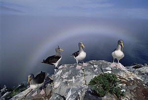 Chatham Albatross (Thalassarche eremita) on a cliff edge nesting site framed by fogbow, critically endangered, The Pyramid, Chatham Islands - Tui De Roy