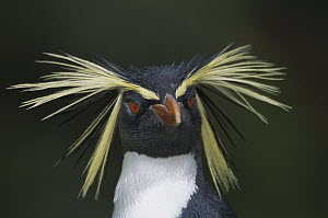 Rockhopper Penguin (Eudyptes chrysocome) portrait, Gough Island, South Atlantic  -  Tui De Roy