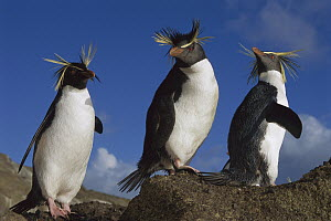 Rockhopper Penguin (Eudyptes chrysocome) trio on rock, Nightingale Island, South Atlantic  -  Tui De Roy