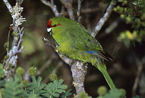 Red-fronted Parakeet (Cyanoramphus novaezelandiae) eating, Enderby Island, Auckland Islands, sub-Antarctic New Zealand - Tui De Roy