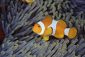 Clown Anemonefish (Amphiprion ocellaris) among the tentacles of a Magnificent Sea Anemone (Heteractis magnifica), Bali, Indonesia  -  Fred Bavendam