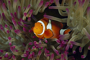 Clown Anemonefish (Amphiprion percula) in Magnificent Sea Anemone (Heteractis magnifica) tentacles, Great Barrier Reef, Queensland, Australia  -  Fred Bavendam