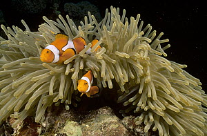 Clown Anemonefish (Amphiprion percula) guarding eggs laid beside their Magnificent Sea Anemone (Heteractis magnifica) host, Kimbe Bay, Papua New Guinea  -  Fred Bavendam