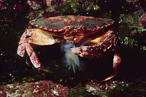 Red Rock Crab (Cancer productus) eating a Lion Nudibranch (Melibe leonina), Vancouver Island, British Columbia, Canada  -  Fred Bavendam