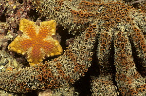 Southern Biscuit Star (Tosia australis) between the arms of a much larger Sea Star, Edithburgh, South Australia  -  Fred Bavendam