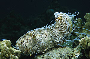 Leopard Sea Cucumber (Bohadschia argus) ejects a mass of long white sticky cuvierian tubules as a defense when disturbed, Manado, Indonesia  -  Fred Bavendam