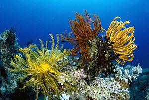 Feather Star (Oxycomanthus bennetti) sitting atop a coral Bommie, Great Barrier Reef, Queensland, Australia - Fred Bavendam