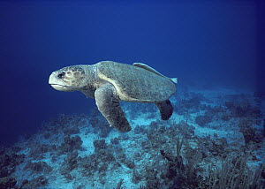 Loggerhead Sea Turtle (Caretta caretta) swimming underwater with Remora attached to its carapace, South Caicos, British West Indies - Fred Bavendam