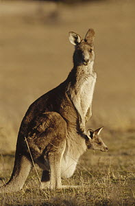 Eastern Grey Kangaroo (Macropus giganteus) mother with joey peering out of pouch, Tidbinbilla National Park, Australia  -  Fred Bavendam