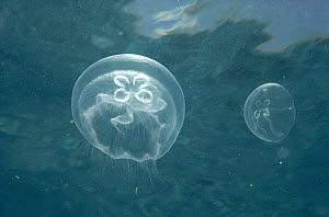 Moon Jelly (Aurelia aurita) pair, Isles of Pines, Cuba  -  Fred Bavendam