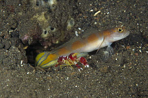 Goby (Amblyeleotris sp) keeping watch while a Snapping Shrimp (Alpheus randalli) excavates their shared burrow, Bali, Indonesia  -  Fred Bavendam