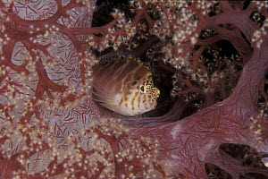 Threadfin Hawkfish (Cirrhitichthys aprinus) sitting among the branches of a Soft Coral (Dendronephthya sp), Bali, Indonesia  -  Fred Bavendam