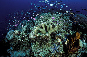 Variety of small reef fish swimming in the currents above a Hard Coral reef with Sponges, Ascidians, and a blue Sea Star, Manado, North Sulawesi, Indonesia - Fred Bavendam