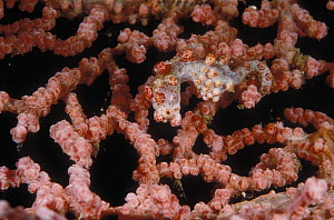 Pygmy Seahorse (Hippocampus bargibanti) clinging to a Gorgonian Coral Fan, Lembeh Straits, Sulawesi, Indonesia  -  Fred Bavendam