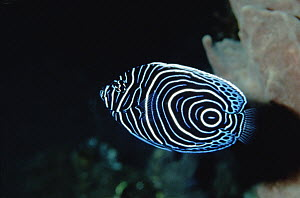 Emperor Angelfish (Pomacanthus imperator) in its juvenile color phase, Bali, Indonesia  -  Fred Bavendam