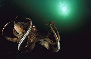 Pacific Giant Octopus (Enteroctopus dofleini) flaring out its arms as it settles to the ocean bottom after swimming, Quadra Island, British Columbia, Canada  -  Fred Bavendam