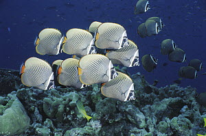 Collared Butterflyfish (Chaetodon collare) school, Andaman Sea, Thailand  -  Fred Bavendam