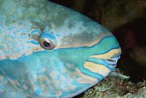 Blue-barred Parrotfish (Scarus ghobban) male sleeping on the reef at night, Andaman Sea, Thailand - Fred Bavendam
